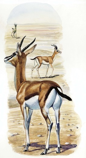 Stock Photo: 1788-30206 Dorcas Gazelle (Gazella dorcas), illustration  Zoology, Mammals Artiodactyla