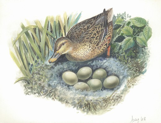 Stock Photo: 1788-30367 Mallard (Anas platyrhynchos) on nest with eggs, illustration  Zoology, Birds