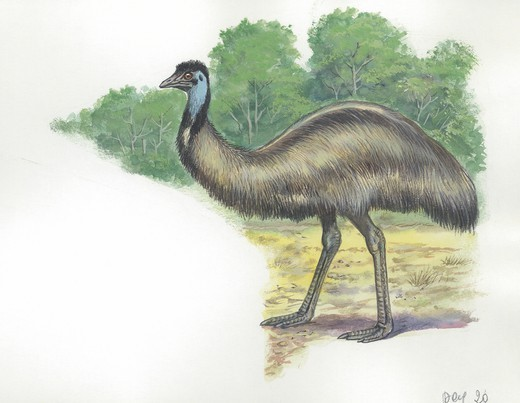 Stock Photo: 1788-30411 Emu (Dromaius novaehollandiae), illustration  Zoology, Birds