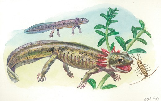 Stock Photo: 1788-30459 Salamander tadpole catching insects in water, illustration.