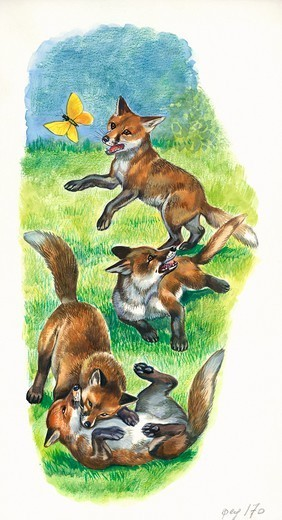 Stock Photo: 1788-30480 Red fox (Vulpes vulpes) cubs playing and hunting butterflies, illustration.