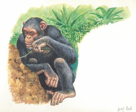 Chimpanzee (Pan troglodytes) fishing for termites, illustration. : Stock Photo