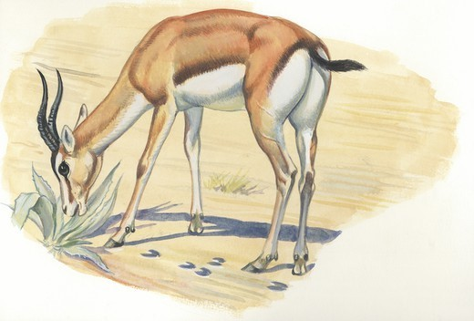 Stock Photo: 1788-30523 Dorcas Gazelle (Gazella dorcas) extracting water from plant, illustration  Zoology, Mammals