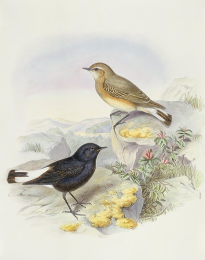 Zoology - Birds - Passeriformes - Variable wheatear (Oenanthe picata). Engraving by John Gould. : Stock Photo