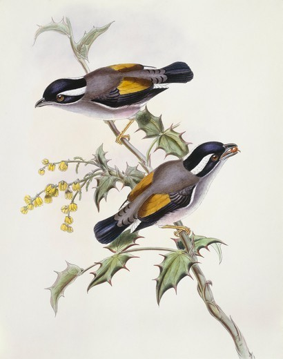 Zoology - Birds - Passeriformes - White-browed shrike-babbler (Pteruthius flaviscapis). Engraving by John Gould. : Stock Photo