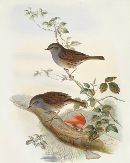 Stock Photo: 1788-30570 Zoology - Birds - Passeriformes - Hedge accentor (Prunella modularis). Engraving by John Gould.