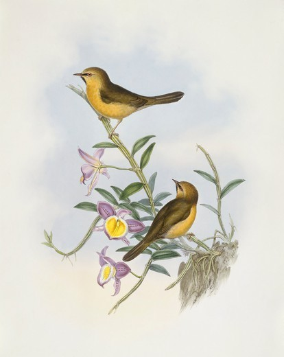 Stock Photo: 1788-30571 Zoology - Birds - Passeriformes - Black-chinned babbler (Stachyris pyrrhops). Engraving by John Gould.