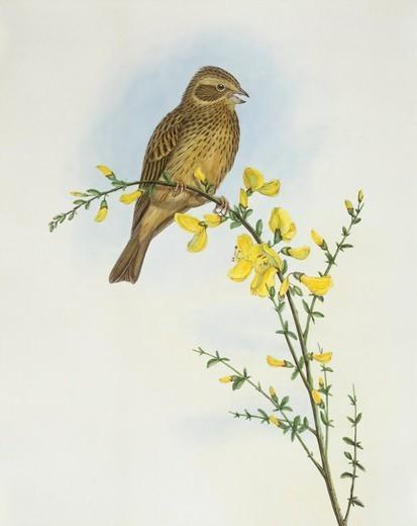 Stock Photo: 1788-30573 Zoology - Birds - Passeriformes - Corn bunting (Miliaria o Emberiza calandra). Engraving by John Gould.