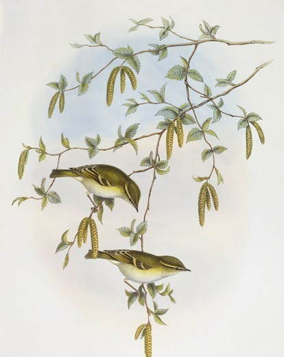 Stock Photo: 1788-30575 Zoology - Birds - Passeriformes - Blyth's leaf-warbler (Phylloscopus reguloides). Engraving by John Gould.