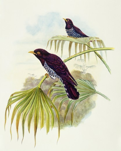 Zoology - Birds - Cuculiformes - Violet cuckoo (Chrysococcyx xanthorhynchus). Engraving by John Gould. : Stock Photo