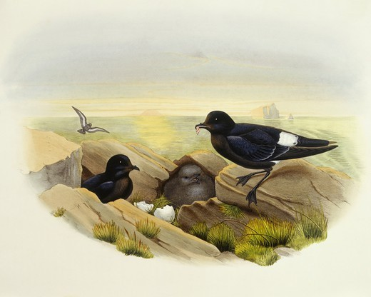 Zoology - Birds - Procellariiformes - European storm-petrel (Hydrobates pelagicus). Engraving by John Gould. : Stock Photo