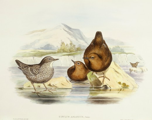 Stock Photo: 1788-30579 Zoology - Birds - Passeriformes - Brown dipper (Cinclus pallasii). Engraving by John Gould.