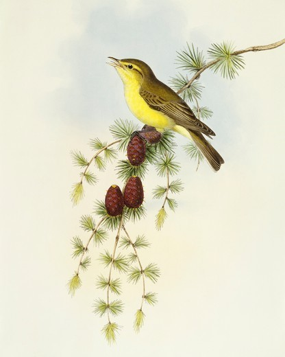 Stock Photo: 1788-30583 Zoology - Birds - Passeriformes - Flycatcher (Ficedula hypolaris). Engraving by John Gould.