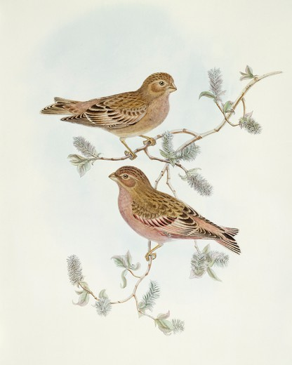 Zoology - Birds - Passeriformes - Rosy Finch (Erythrospiza incarnata). Engraving by John Gould. : Stock Photo