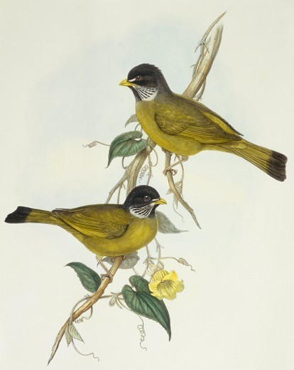 Stock Photo: 1788-30587 Zoology - Birds - Passeriformes - Collared finchbill (Spizixos semitorques). Engraving by John Gould.