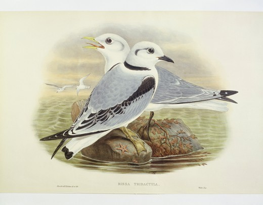 Stock Photo: 1788-30590 Zoology - Birds - Charadriiformes - Black-legged kittiwake (Rissa tridactyla). Engraving by John Gould, William Hart, H. C. Richter.