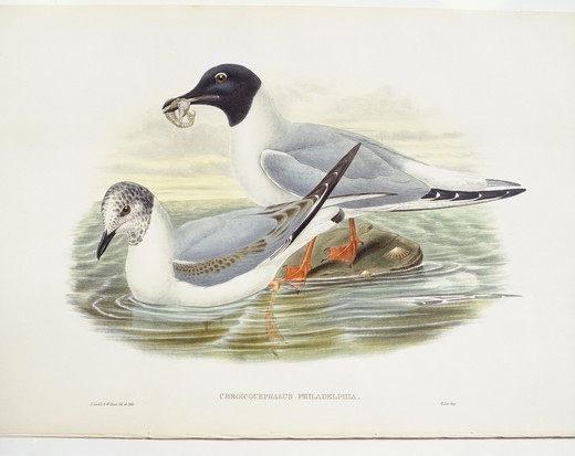 Stock Photo: 1788-30591 Zoology - Birds - Charadriiformes - Bonaparte's gull (Larus philadelphia). Engraving by John Gould, William Hart, H. C. Richter.