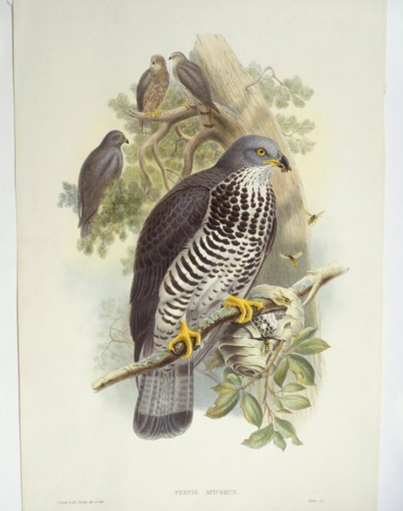 Stock Photo: 1788-30592 Zoology - Birds - Falconiformes - Honey-buzzard (Pernis apivorus). Engraving by John Gould, William Hart, H. C. Richter.