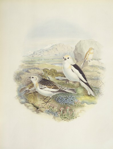 Stock Photo: 1788-30593 Zoology - Birds - Passeriformes - Snow bunting (Plectrophenax nivalis). Engraving by John Gould, William Hart, H. C. Richter.