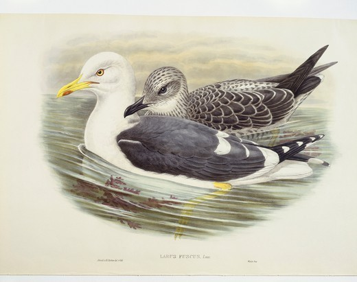 Zoology - Birds - Charadriiformes - Lesser black-backed gull (Larus fuscus). Engraving by John Gould, William Hart, H. C. Richter. : Stock Photo