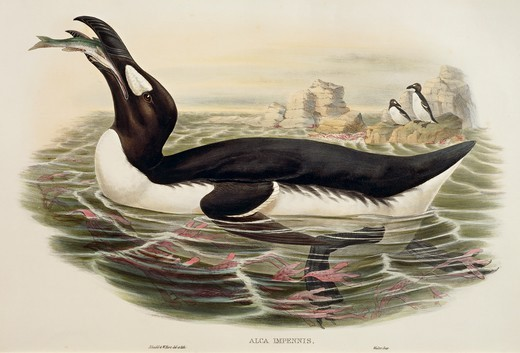 Stock Photo: 1788-30596 John Gould (1804-1881), William Hart, H. C. Richter, The Birds of Europe, 1832-1837 - Great Auk (Pinguinus impennis), engraving.