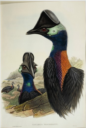 Stock Photo: 1788-30597 John Gould (1804-1881), The Birds of Asia, 1850-1883 - Dwarf Cassowary (Casuarius bennetti), engraving.