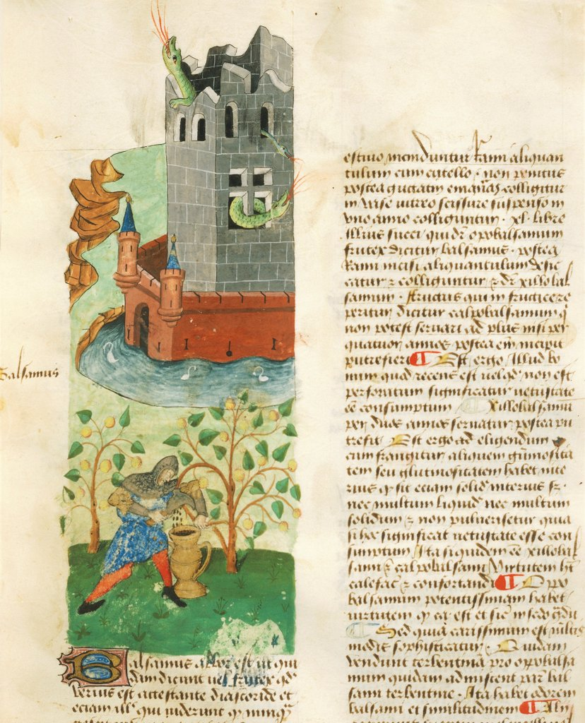 Stock Photo: 1788-34275 A knight while he extracts a substance from a plant in order to hunt the dragon nesting in the castle, miniature from Tractatus de herbis, Latin manuscript by Dioscorides Est 28 e M 59 folio 20 recto, France 15th Century.