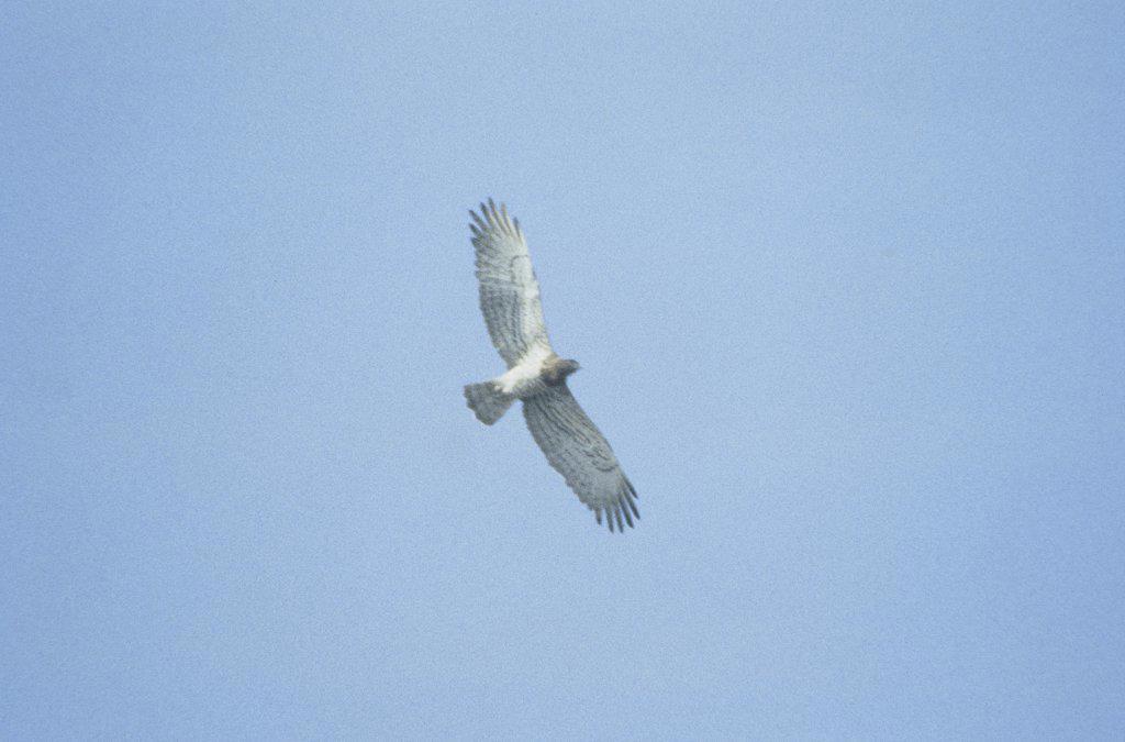 Italy - Calabria Region - Birds - Harrier eagle : Stock Photo