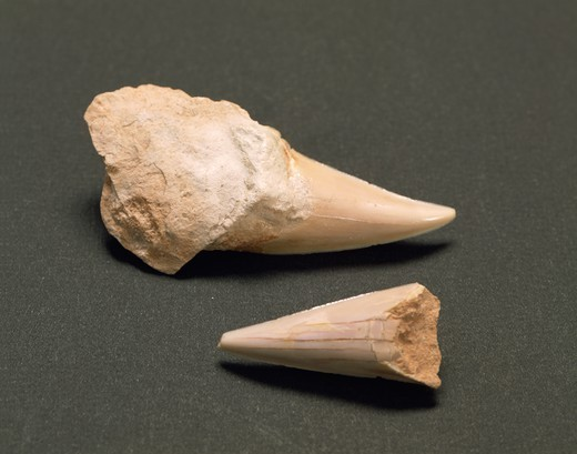 Fossils - Shark teeth (Cretoxyrhina mantelli). From Veneto Region. : Stock Photo