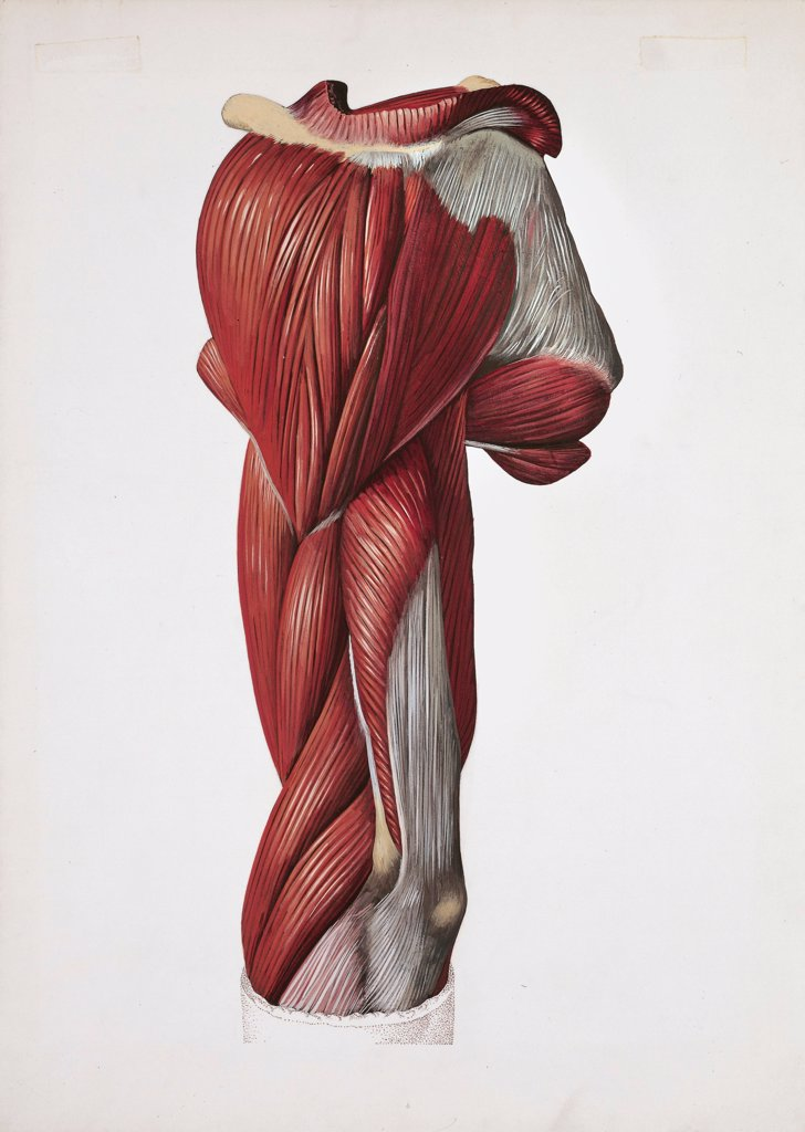 Stock Photo: 1788-39716 Medicine: Human anatomy, left arm, back and lateral muscles. Drawing