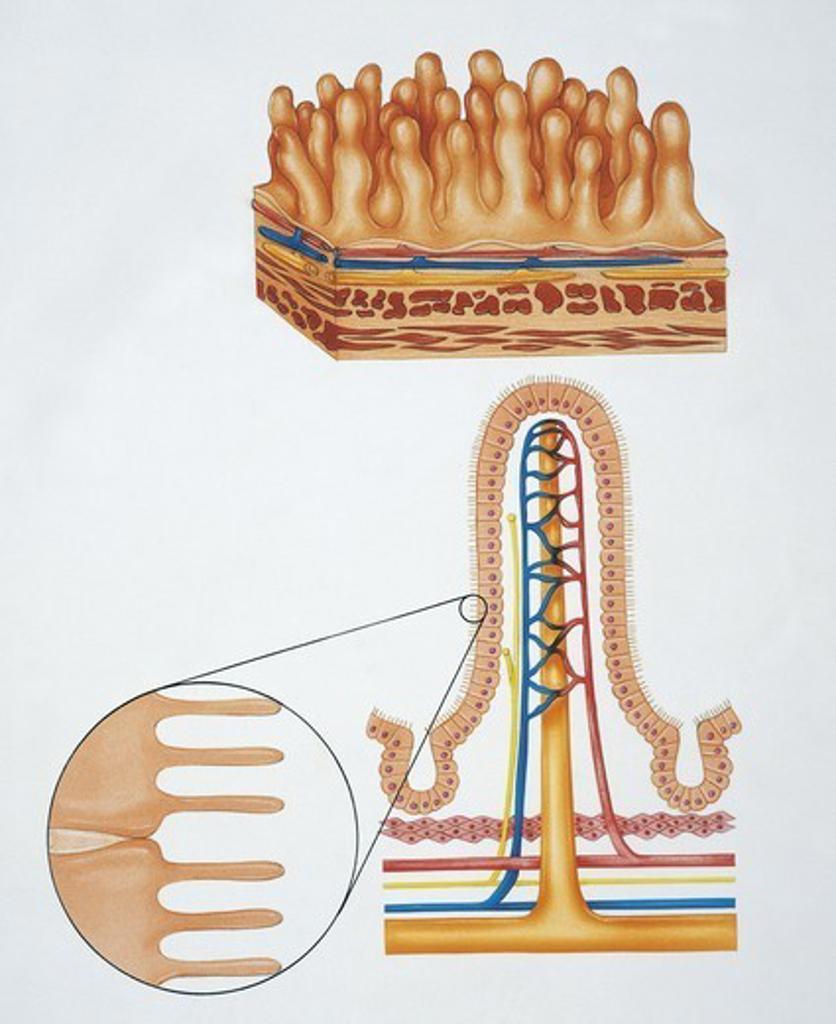 Stock Photo: 1788-39833 Human anatomy: intestinal villi. Drawing