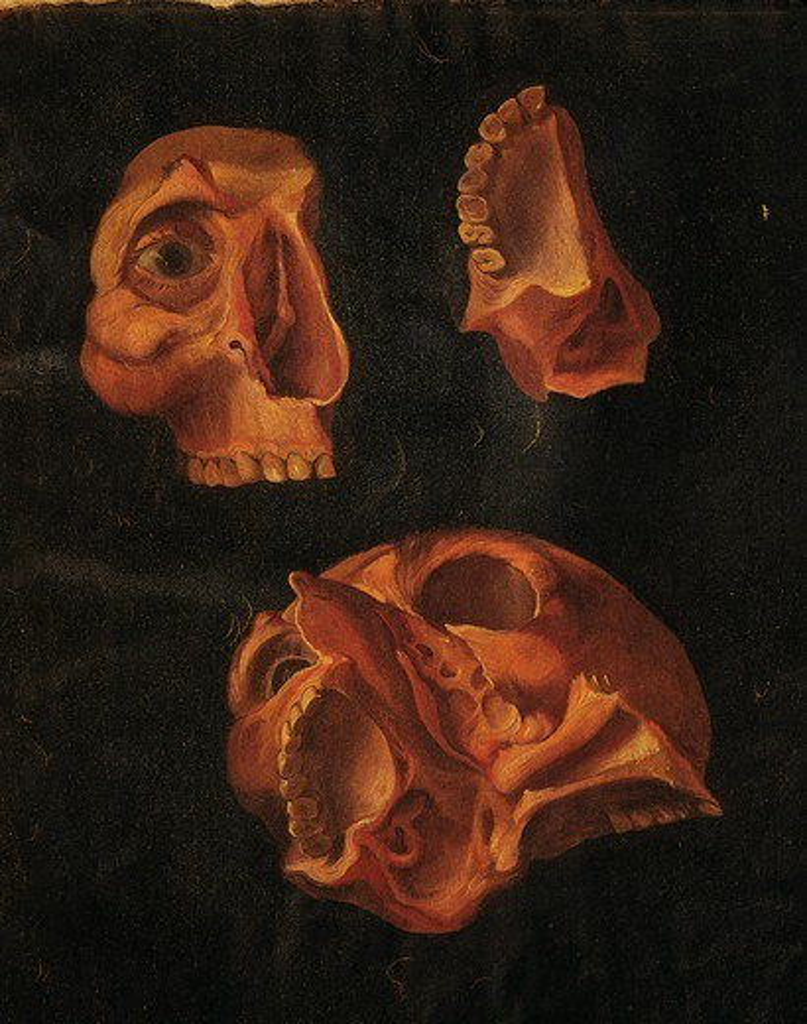 Hieronymus Fabricius ab Aquapendente (1537-1619), Anatomy of head, anatomical plate. : Stock Photo