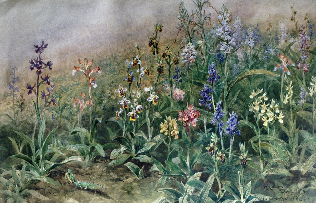 Stock Photo: 1788-50292 Orchids, by Enrico Coleman (1846-1911), watercolor.