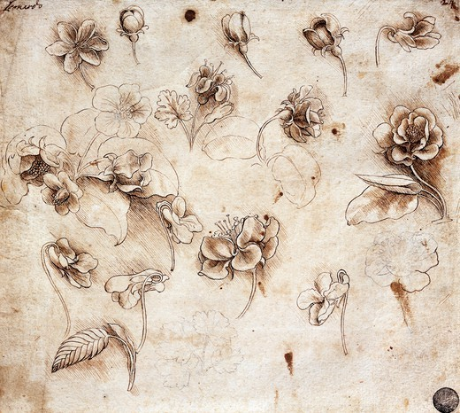 Stock Photo: 1788-54936 Botanical table by Leonardo da Vinci (1452-1519), drawing 237.