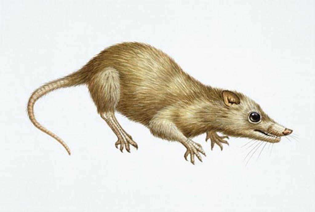 Illustration of Megazostrodon : Stock Photo