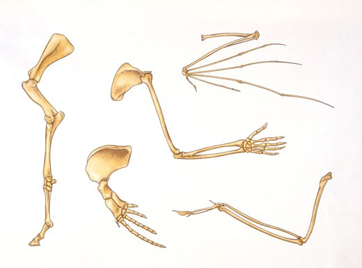 Illustration of Bones of upper and lower limbs of dinosaurs : Stock Photo