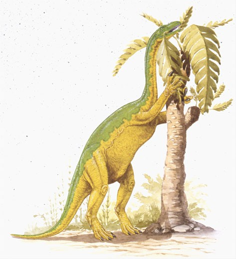 Stock Photo: 1788-5910 Illustration representing  Anchisaurus eating leaves from tree