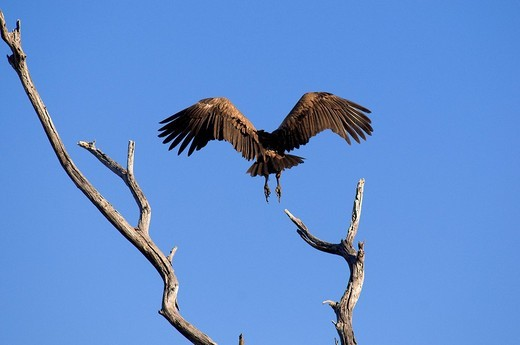 Stock Photo: 1792-100814 Botswana, district North_west, Chobe National Park, vulture
