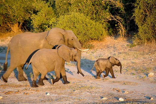Stock Photo: 1792-100826 Botswana, district North_west, Chobe National Park, elephants