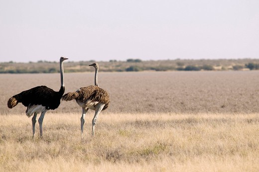Stock Photo: 1792-100831 Botswana, Central Kalahari Game Reserve, ostrich or opinions struthio