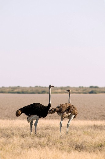 Stock Photo: 1792-100832 Botswana, Central Kalahari Game Reserve, ostrich opinion struthio