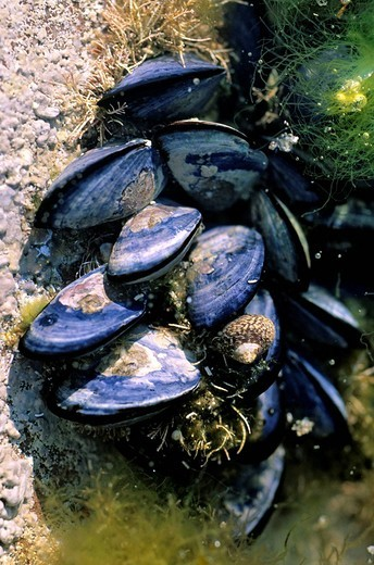 France, Cotes d´Armor, Cap Frehel, mussels on the rocks : Stock Photo