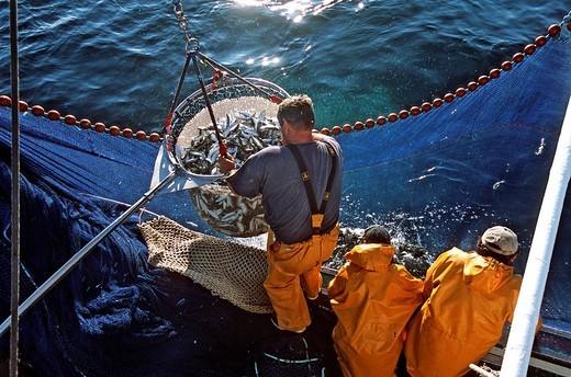 France, Morbihan, Quiberon, fishing sardine on Kanedeven sardine boat : Stock Photo