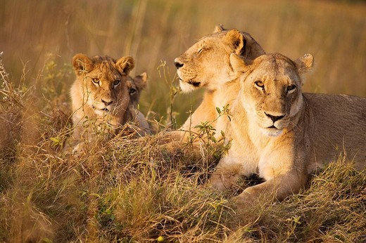 Stock Photo: 1792-101853 Botswana, North_west district, Chobe National Park, Savuti arid region, lionesses