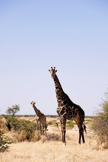 Botswana, North_west district, Chobe National Park, Savuti arid region, giraffe : Stock Photo