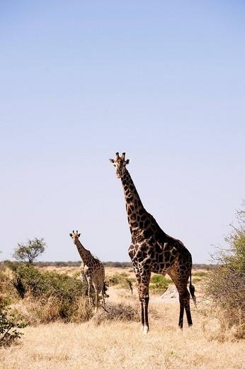 Stock Photo: 1792-101957 Botswana, North_west district, Chobe National Park, Savuti arid region, giraffe