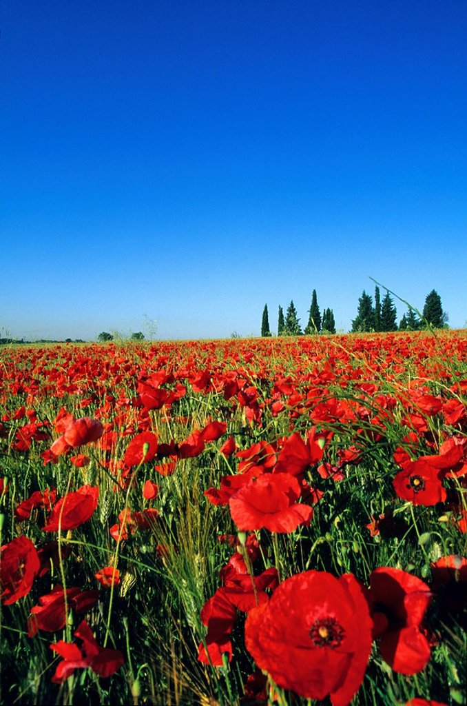 Stock Photo: 1792-103359 France, Bouches du Rhone, poppies