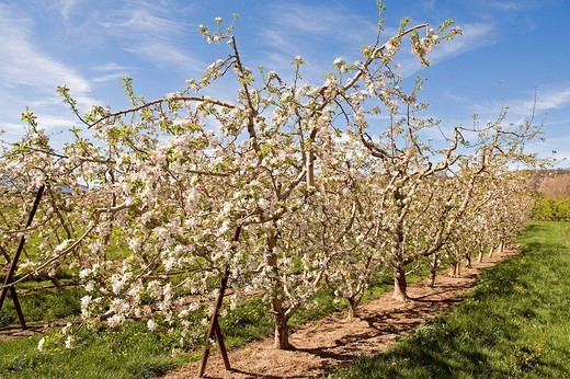 France, Alpes de Haute Provence, blooming orchard, apple trees : Stock Photo
