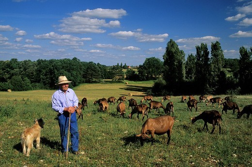 France, Dordogne, Perigord Pourpre, Beaumont du Perigord, Mr Guichard and his herd of goats : Stock Photo
