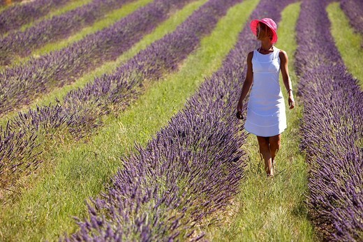 France, Vaucluse, Sault, lavender fields : Stock Photo